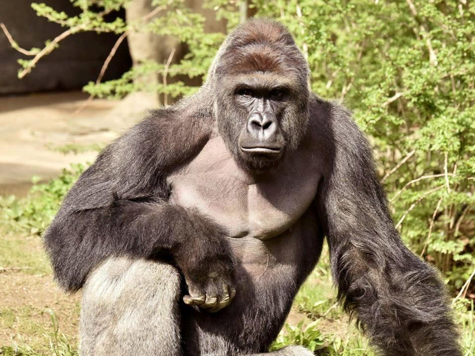 Harambe, the 17 year-old silverback gorilla